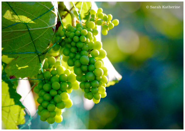 grapes, vineyard, blue