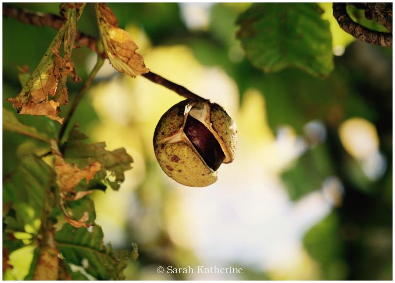 sweet chestnut, tree, autumn