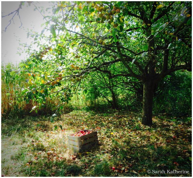 apples, autumn, orchard