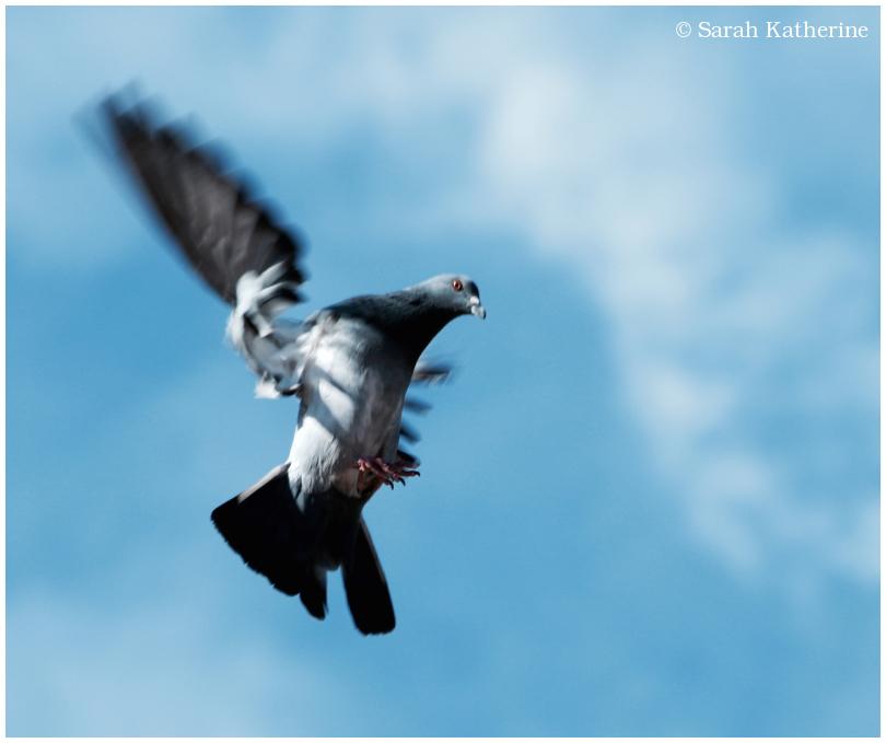pigeon, flying, wings