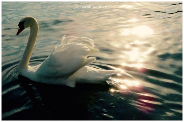 swan, lake, sunlight
