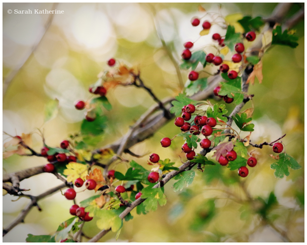 autumn, branches berries