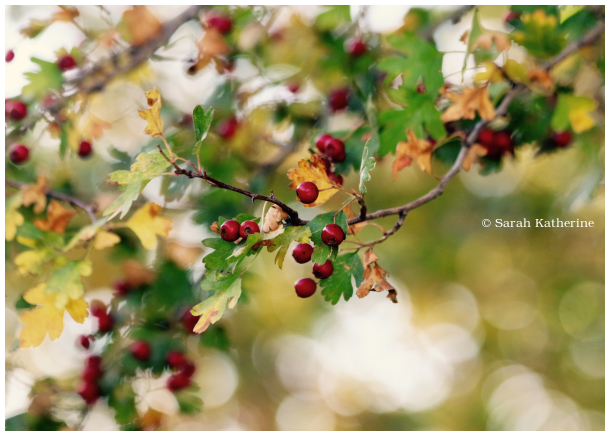 berries branches autumn
