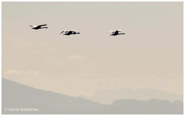swan, lake, mountains