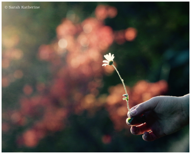 autumn, daisy, hand