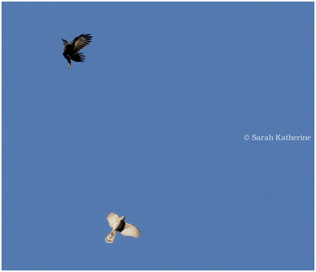 crow, sparrow hawk, sky
