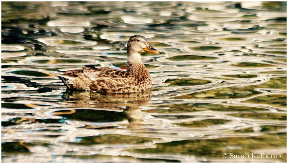 autumn, duck, lake, water