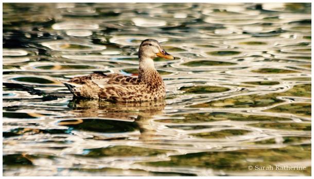 autumn, duck, lake, water