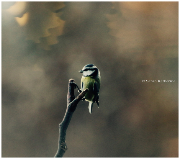 bluetit, bird, autumn, stick, branch