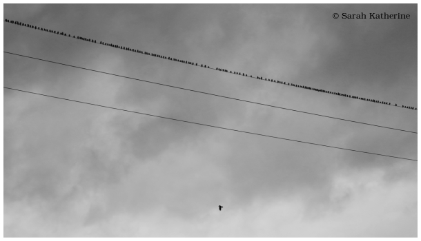 starlings, crow, wire