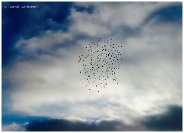 starlings, sky, winter