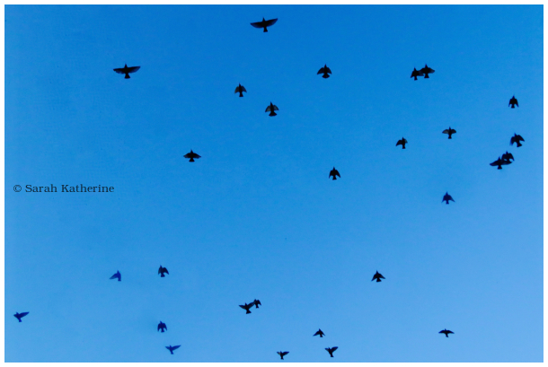starlings, velux, skylight, winter