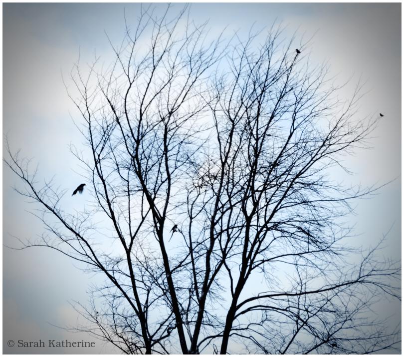 magpies, starlings, winter tree
