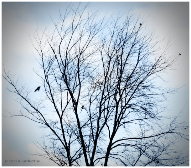 magpies, starlings, winter tree