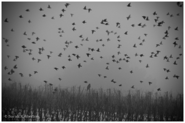 hawk, starlings, snow, winter, vines