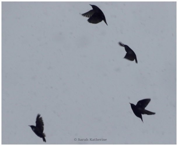 starlings, snow, winter