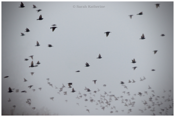 snow, starlings, mist, winter