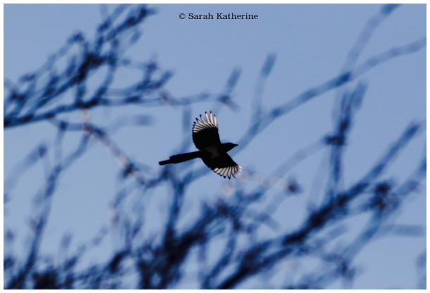 magpie, branches, winter