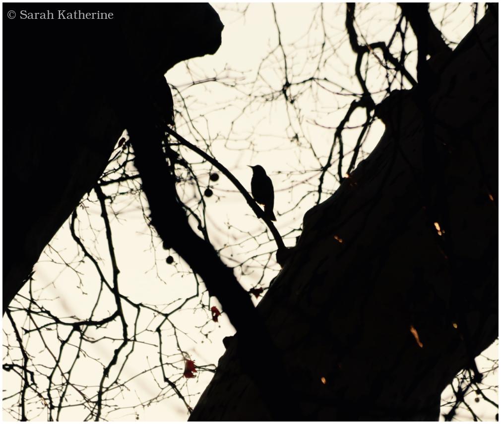 starling, trees, winter, sunlight