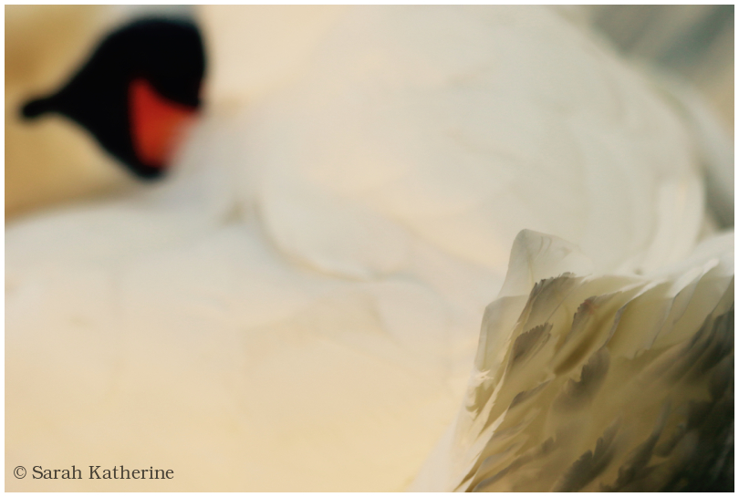 swan, head, tail