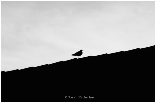 gull, rooftop, winter
