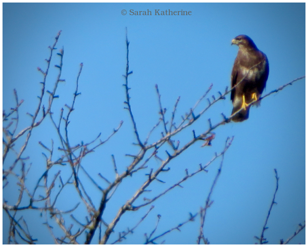 hawk, tree, winter