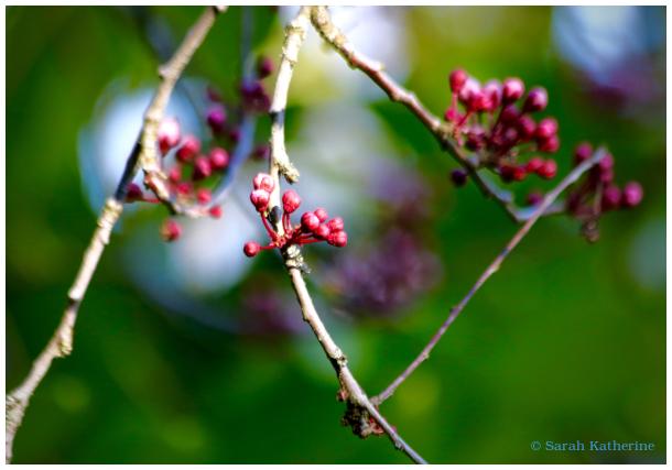 spring, blossoms, buds