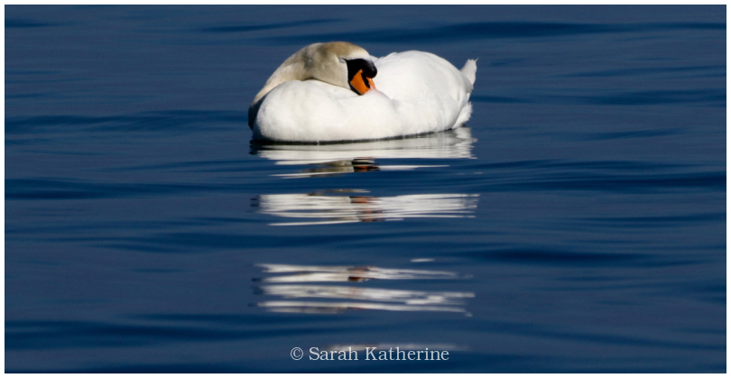 swan, lake, sleep, blue