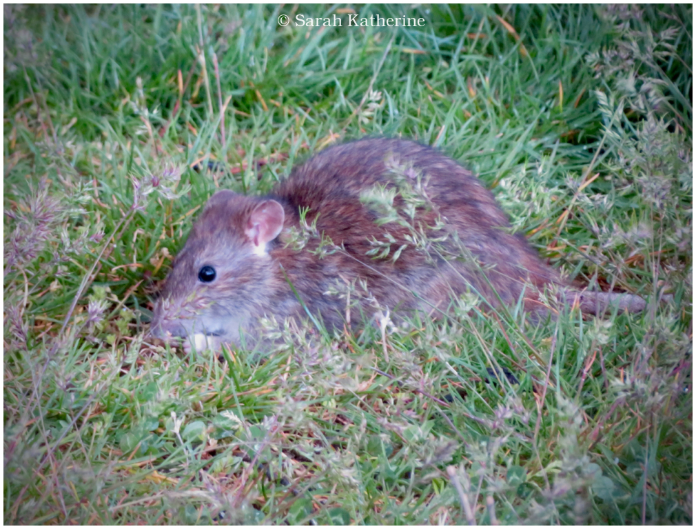 rat, spring, grass, rodent