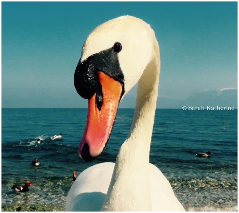 swan, lake, spring