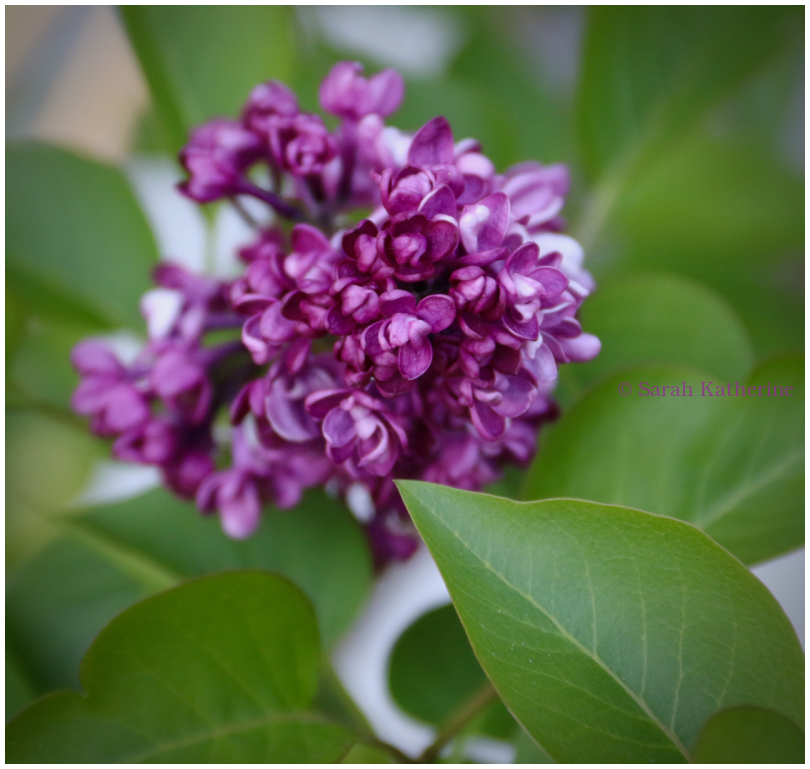 lilacs, leaves, spring