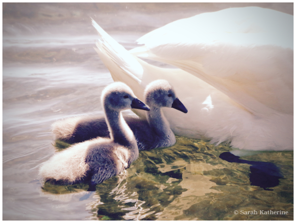 swan, cygnet, lake, mother's day