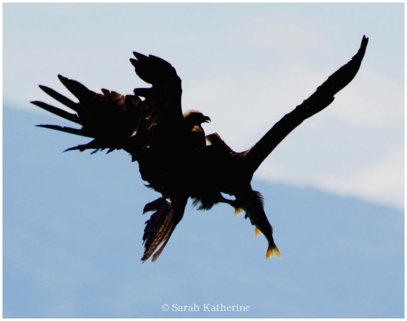 black kite, fish, spring