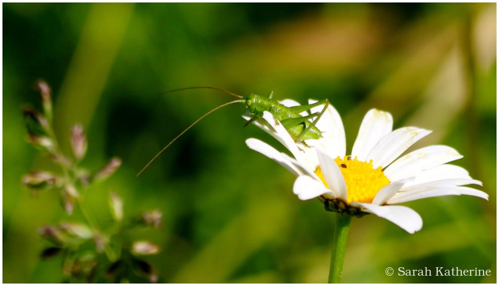 cricket, daisy, spring