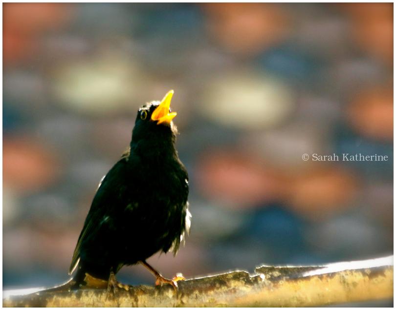 blackbird, singing, solstice, summer
