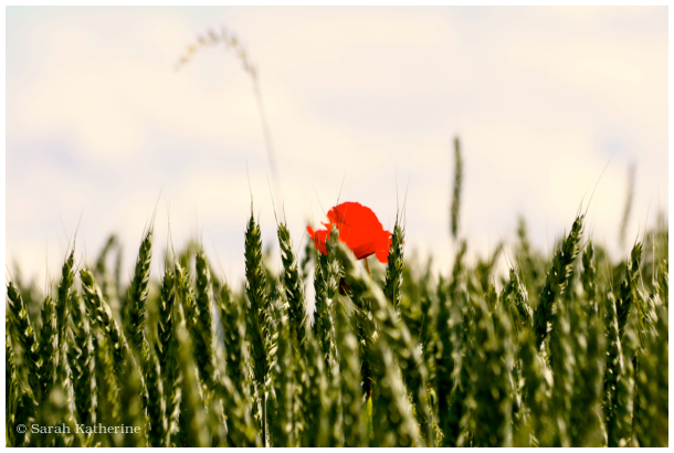 field, summer, poppy