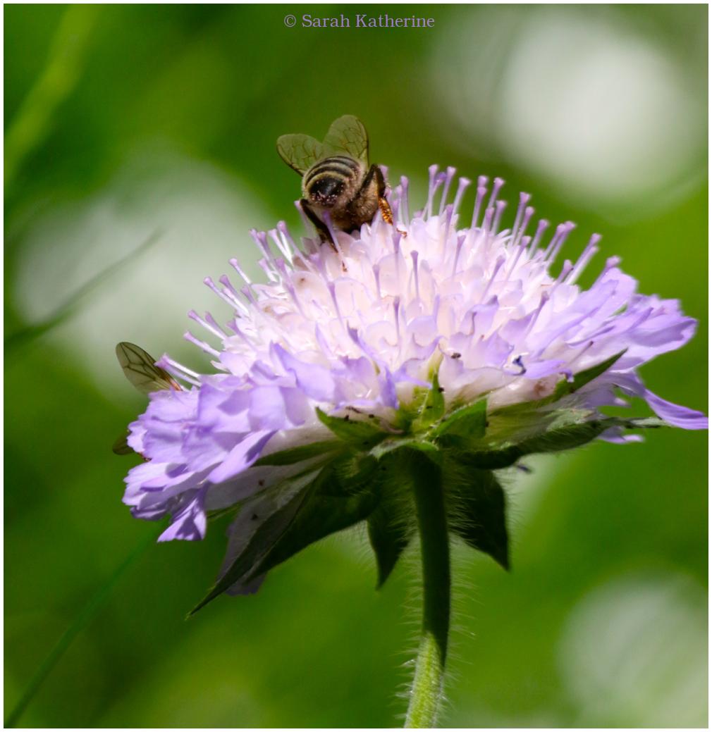wildflowers, bees