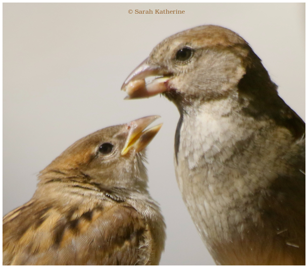 bird, feeding, summer, fledgling, sparrow