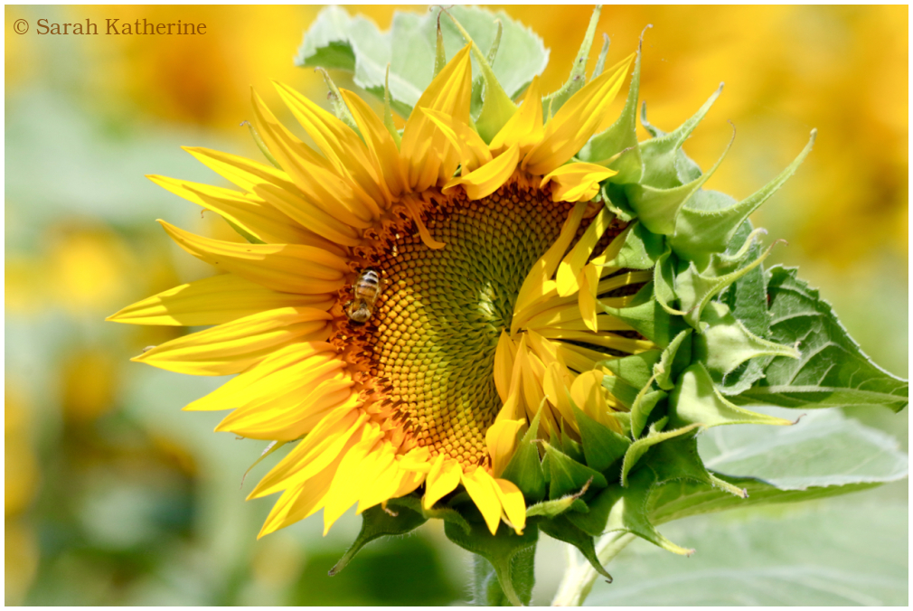sunflower, bee, summer, unfolding