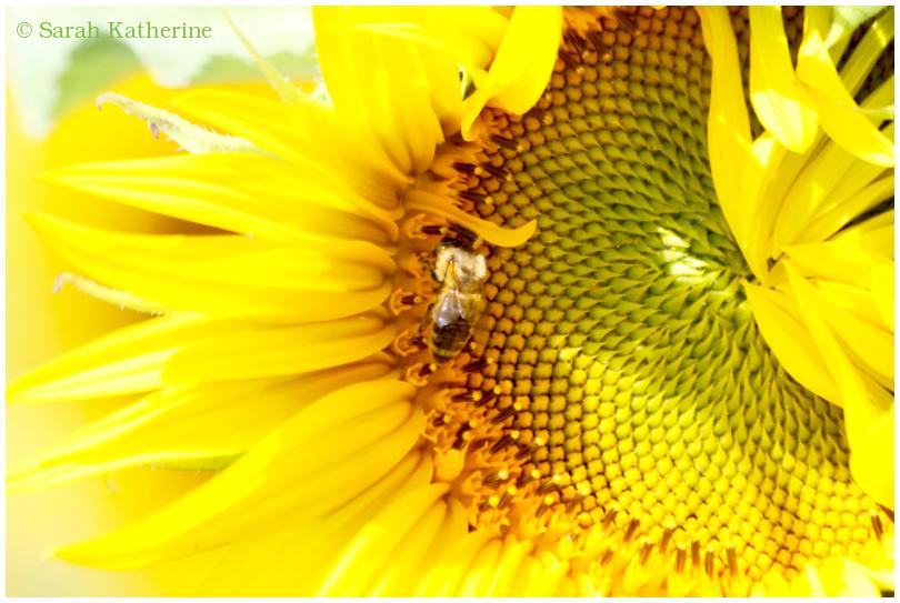 sunflower, petals, summer, bee