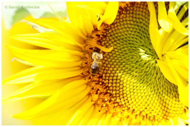 sunflower, petals, summer, bee