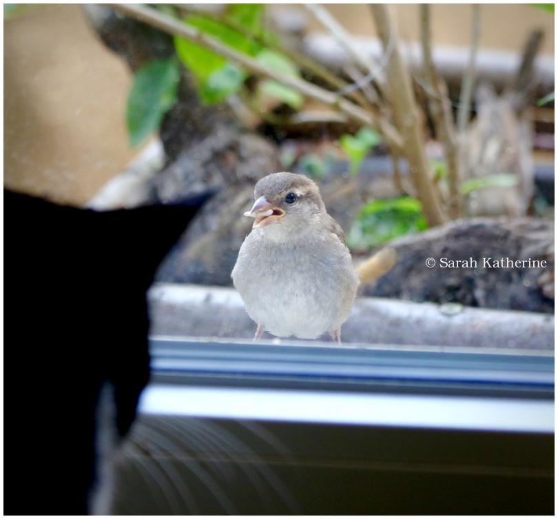 cat, sparrow, window, sunflower seed, summer