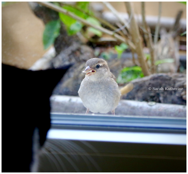 cat, sparrow, window, sunflower seed, summer