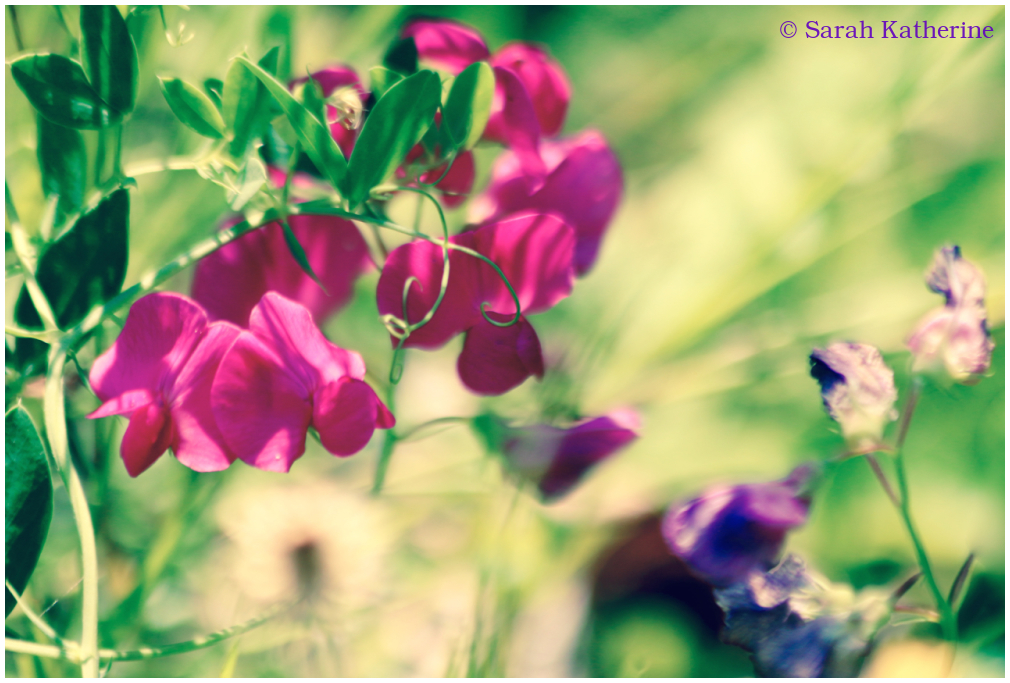 sweet peas, summer