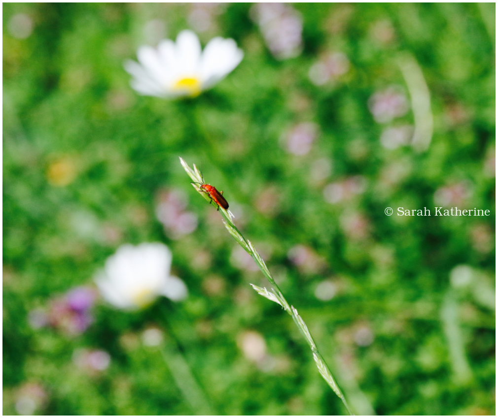 bug, meadow, meander, wildflowers