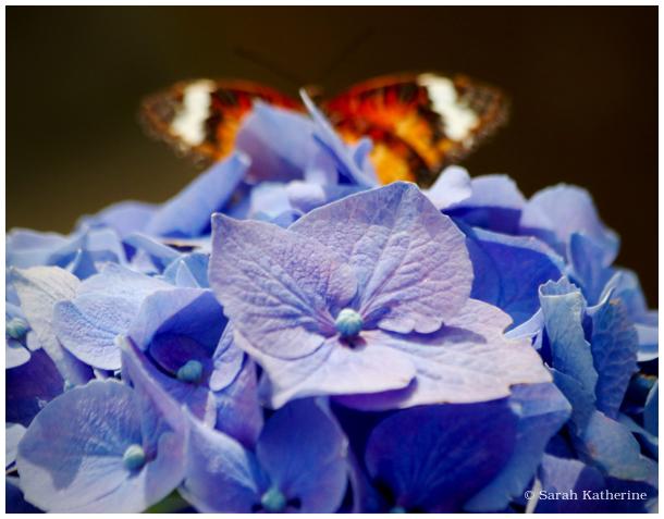 hydrangea, butterfly
