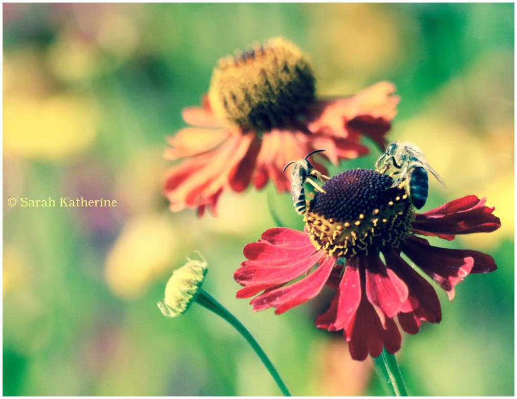 bees, echinacae