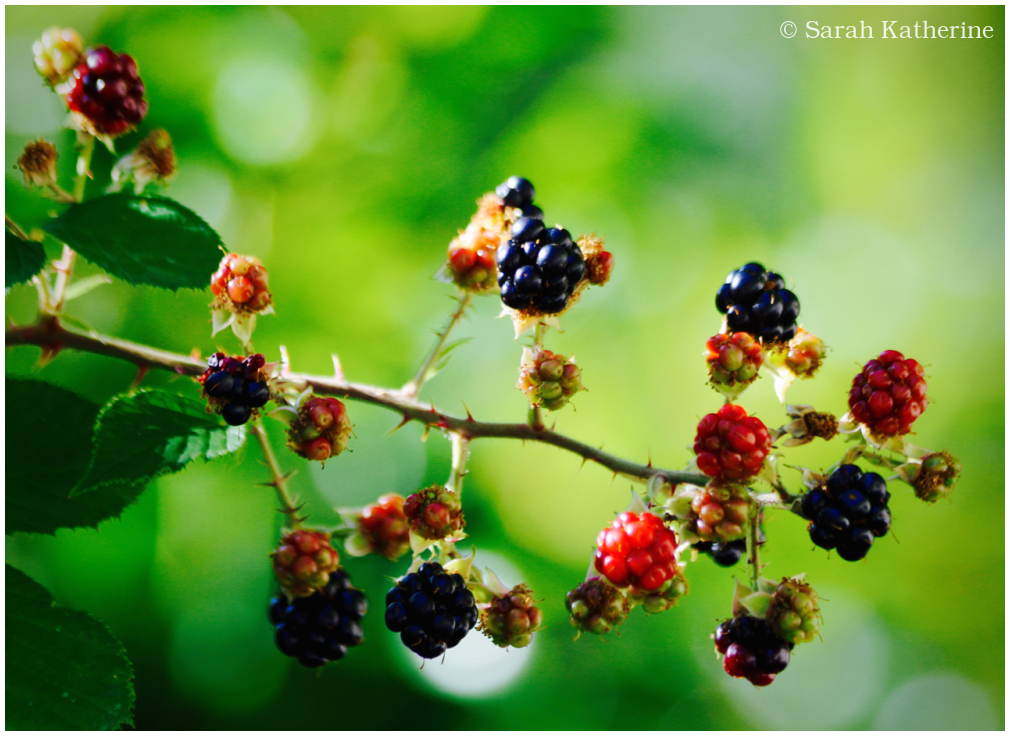 blackberries, summer