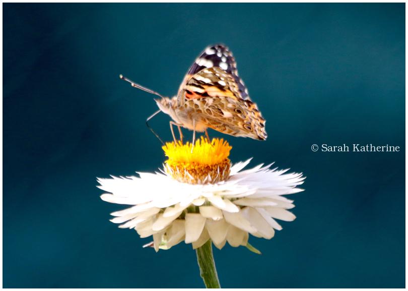 butterfly, summer, flower