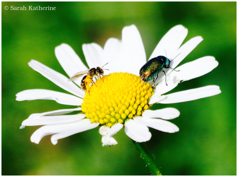 bee, bug, daisy, garden, summer, insect